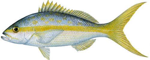 yellowtail snapper